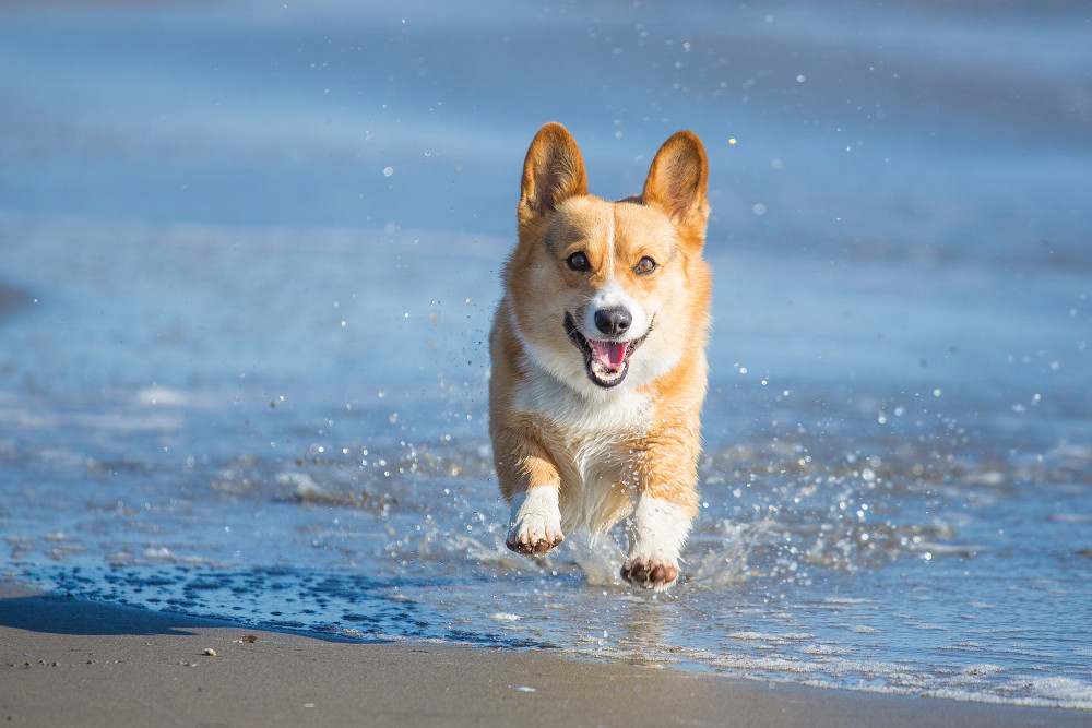 What is Good About the Pembroke Welsh Corgi?