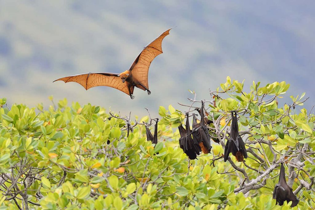 What is a Flying Fox? Foxes with Wings, or the Largest Fruit Bats in the World?