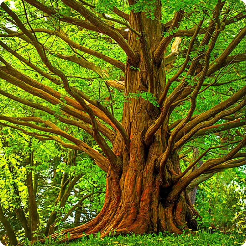 Dawn Redwood Seeds