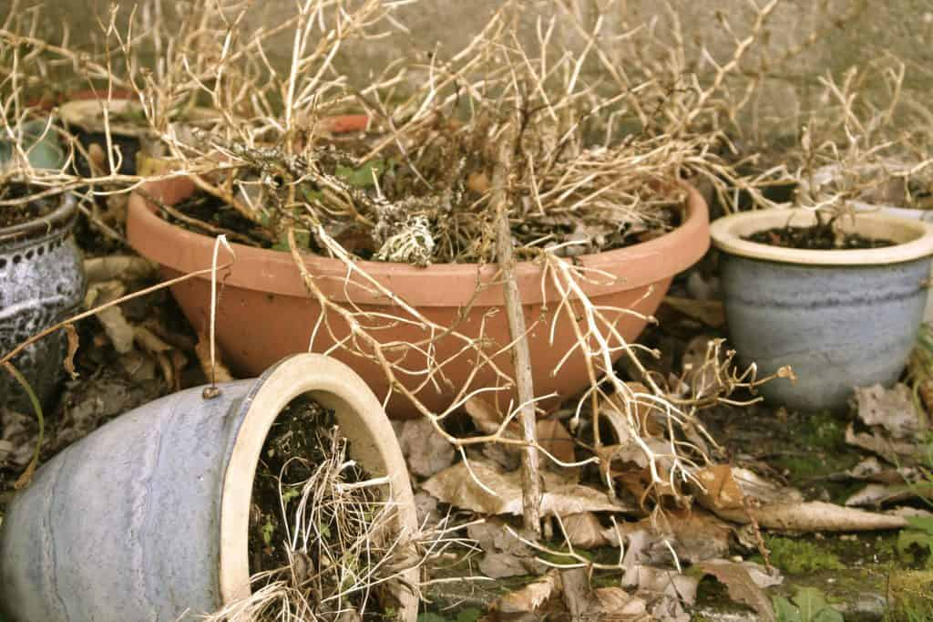 Dead plant in pots scaled