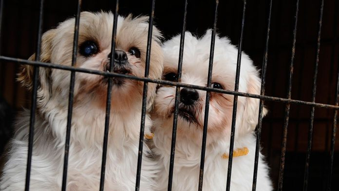 Puppy Mill GettyImages  e