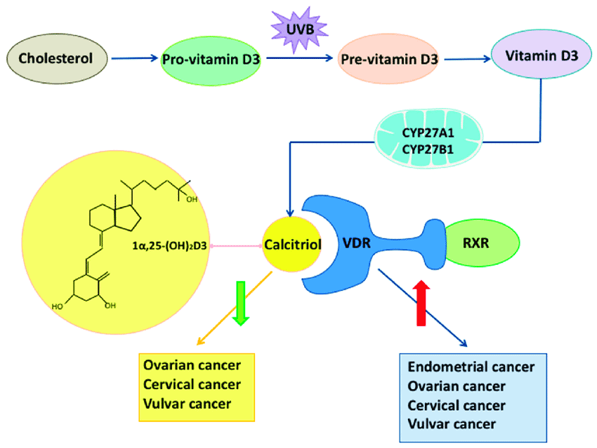 The role of vitamin D and vitamin D receptor VDR in gynecological cancers Endogenous