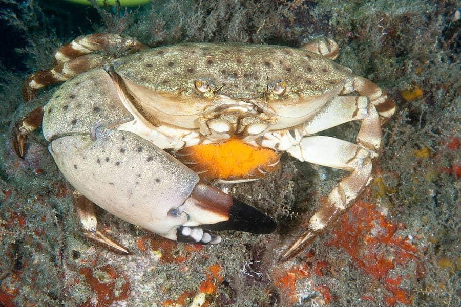florida stone crab andrew j martinez