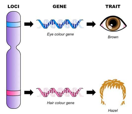 gene and loci med