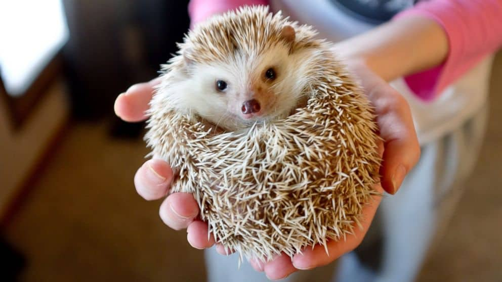 hedgehog stock gty jef  hpMain