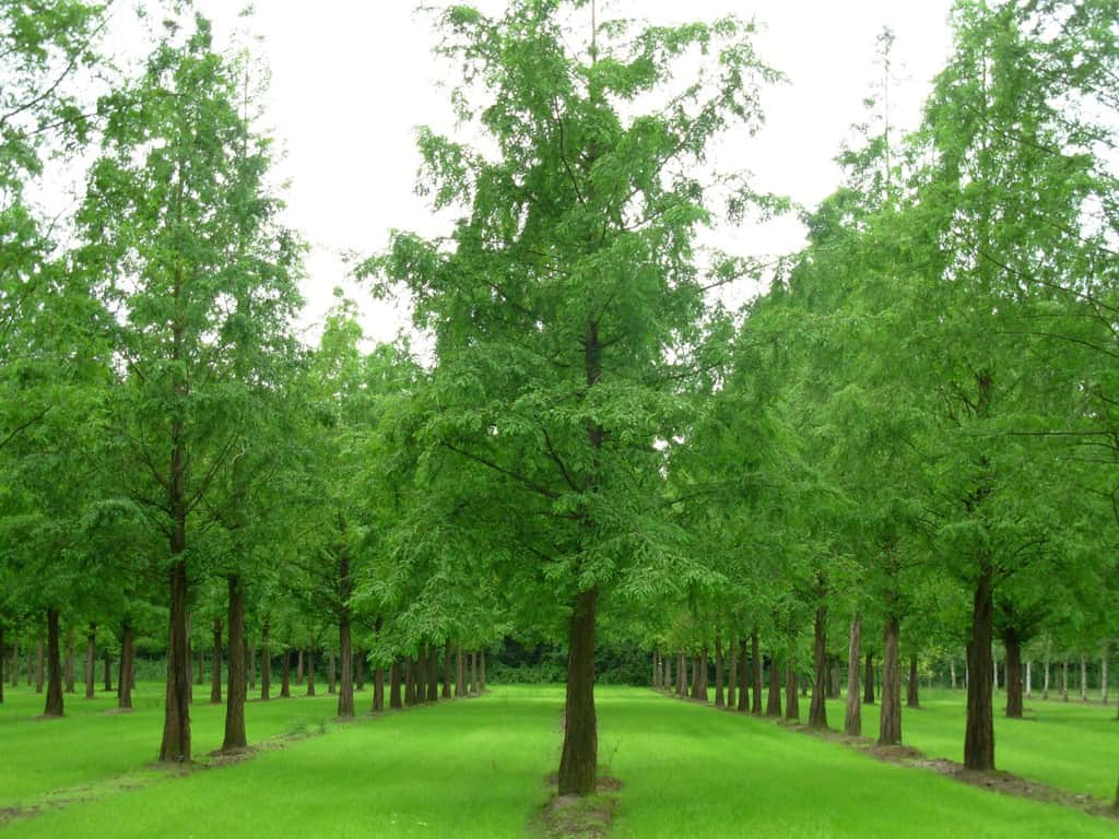 metasequoia glyptostrobiodes