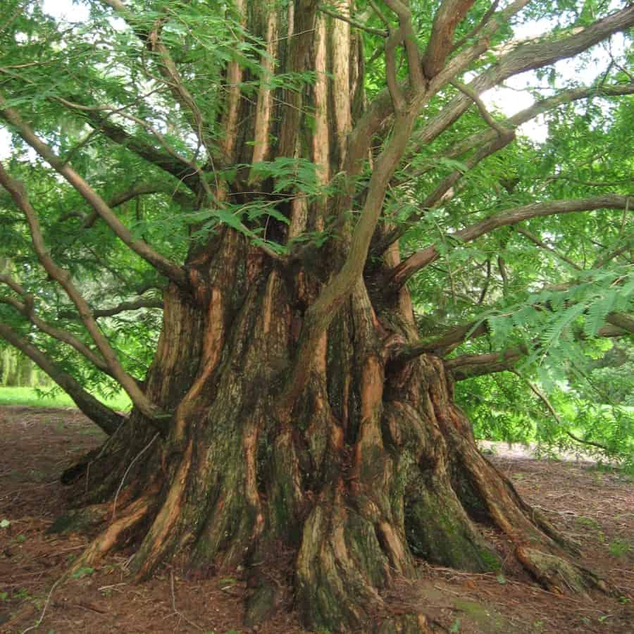 p  Metasequoia glyptostroboides
