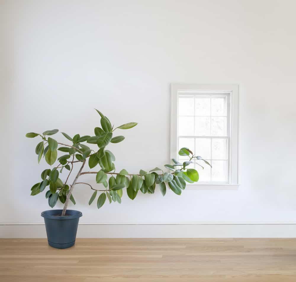rubber plant growing toward window  befbafcfbc