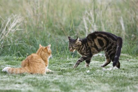 two domestic cats felis catus one arching its back  ccebcecedd