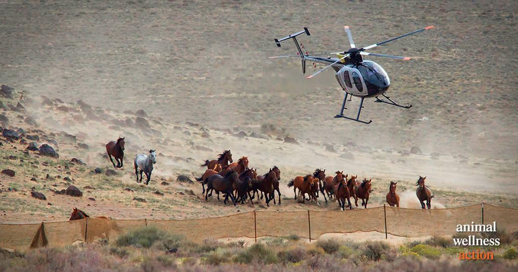 AWA BLM Horses