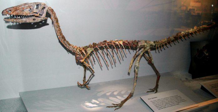 Coelophysis bauri mount scaled