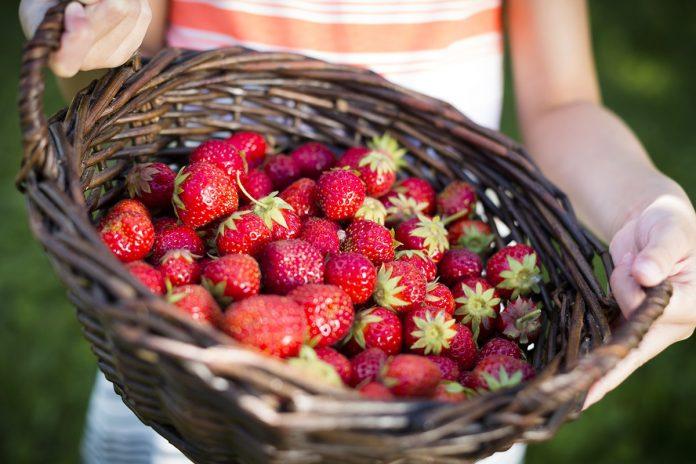 NJF Strawberry Picking