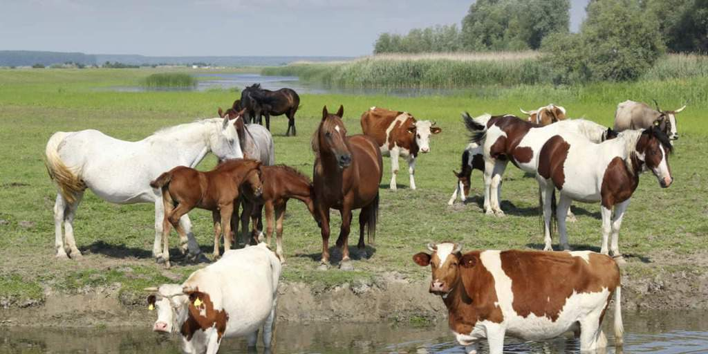 TH LEGACY IMAGE ID horses and cows in field