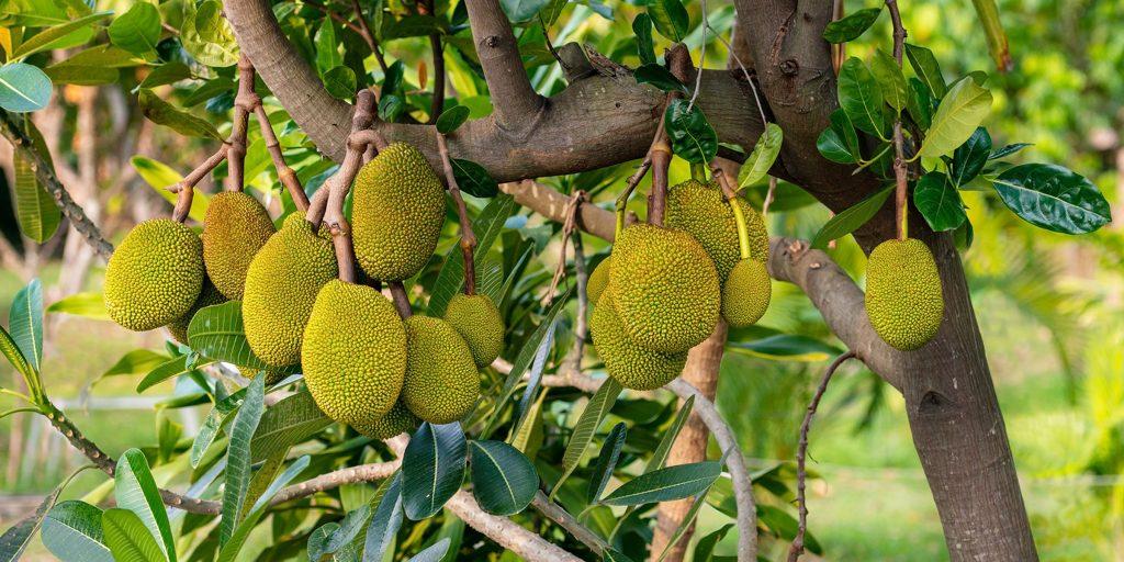 jackfruit kb main